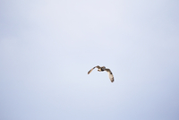 Low angle view of owl flying against clear sky