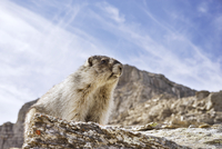 Low angle view of hoary marmot on mountain against cloudy sky