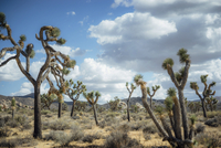 Trees at Joshua Tree National Park against cloudy sky
