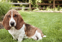 Portrait of Basset Hound sitting on grassy field