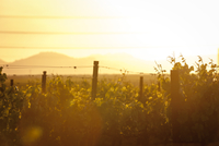 Scenic view of vineyard on sunny day against clear sky