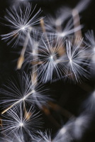 Dandelion seeds in mid-air against black background