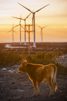 Cow standing against windmills on field during sunset