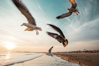Seagulls flying at beach against sky during sunset