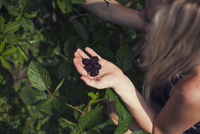 Overhead view of woman harvesting blackberries from plants at farm 11100036914  写真素材・ストックフォト・画像・イラスト素材 アマナイメージズ