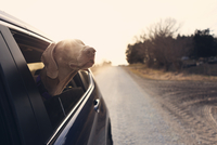 Weimaraner looking through car window on country road