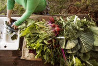 Overhead view of farmer arranging vegetables on table at field 11100038563| 写真素材・ストックフォト・画像・イラスト素材|アマナイメージズ