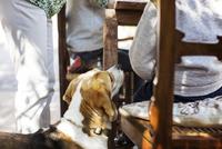 Beagle by family at yard