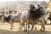 Bull and cows on footpath outside temple