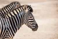 Close-up of zebras at national park