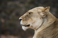 Side view of lioness at national park
