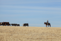 Teenage cowboy herding cattle while riding hose on field against blue sky