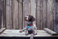 German Wirehaired Pointer looking up while sitting on wooden table against fence