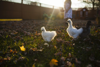 Baby chickens in farm during sunset