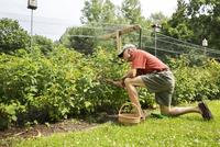 Side view of senior man plucking berries on field 11100042192| 写真素材・ストックフォト・画像・イラスト素材|アマナイメージズ