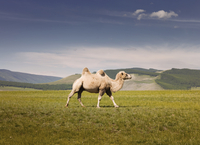Bactrian camel walking on grassy field against sky