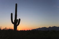 Silhouette cactus growing on field against clear sky during sunset