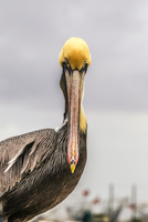 Portrait of pelican against clear sky