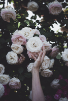 Cropped image of hand touching roses on plant