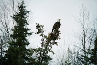 Bald eagle sitting on tree during foggy weather