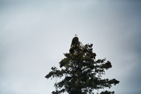 Low angle view of bald eagle sitting on tree against cloudy sky