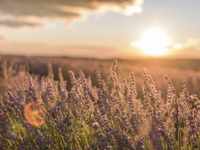 Scenic view of lavender flowers during sunset