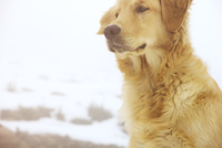 Close-up of Golden Retriever during winter