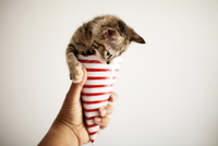 Close-up of hand holding paper cone with kitten against white wall