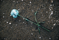 Overhead view of blue rose fallen on sand