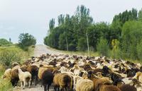Sheep walking on road against sky