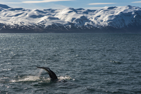 Whale swimming in sea against snowcapped mountains