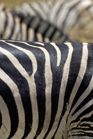 Cropped image of zebra in forest