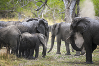African elephants in forest