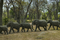 Elephant family walking in forest