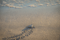 High angle view of turtle moving on beach