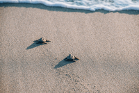 High angle view of turtles moving towards sea on beach