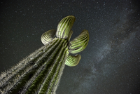 Low angle view saguaro cactus against star field