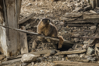 Marmot looking away while sitting on wooden plank