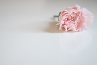 High angle view of pink carnation flower on white background