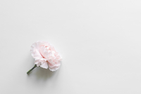 High angle view of pink carnation flower