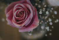 High angle view of pink rose and gypsophila flowers in vase