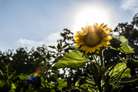 Low angle view of sunflower growing in garden against sky