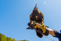 Low angle view of golden eagle perching on man's hand against clear sky