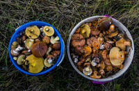 Overhead view of fresh mushrooms in buckets on grassy field