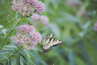 Close-up of papilio machaon on plant