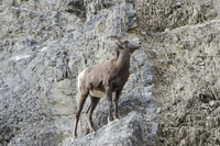 Low angle view of Bighorn sheep on mountain