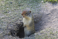 High angle view of ground squirrel in hole