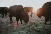 American Bison's grazing while standing on field
