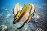 Close-up of butterflyfishes swimming in sea