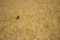 High angle view of red-winged blackbird perching in crops in farm